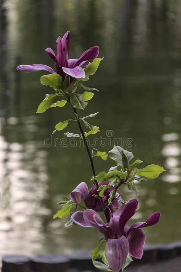 美丽的开花的木兰在庭院里在春天背景中 库存照片
