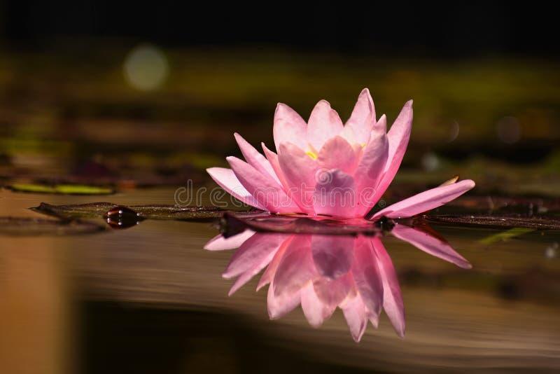 美丽的开花的桃红色荷花-莲花在一个庭院里在池塘 背景反映起了波纹水面 免版税库存图片