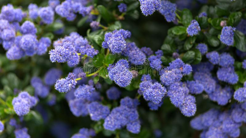 美丽的开花的紫色加利福尼亚淡紫色花,Ceanothus thyrsiflorus repens在春天庭院里 库存照片