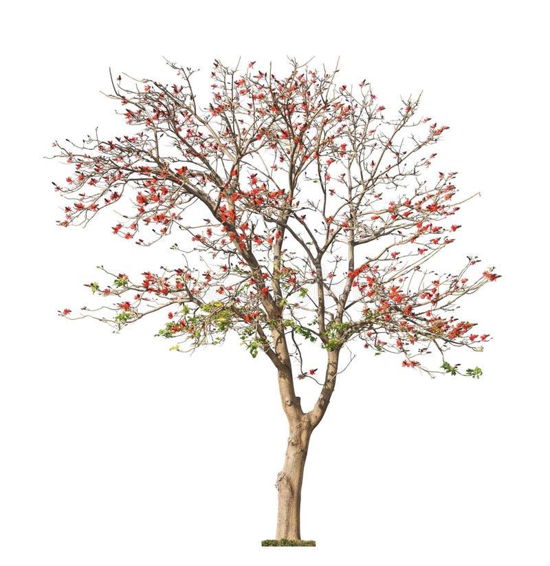 美丽的开花的红珊瑚树 库存图片