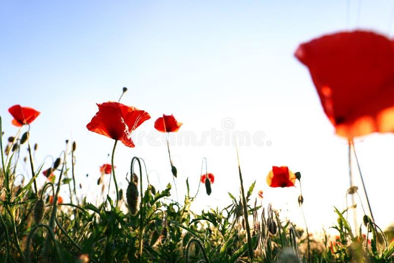美丽的开花的红色鸦片花的被日光照射了领域 库存图片