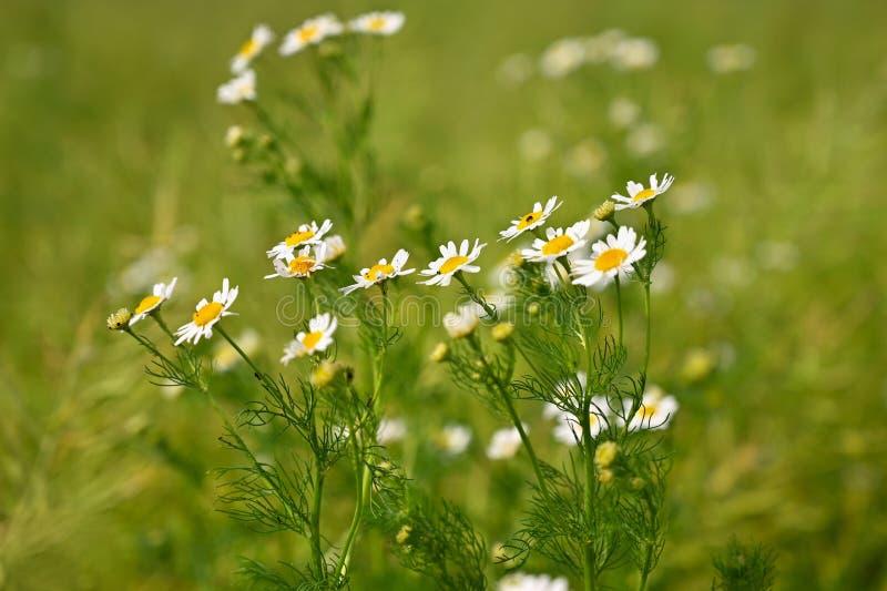 美丽的开花的花-延命菊 夏天自然五颜六色的背景 Leucanthemum磨房 库存照片