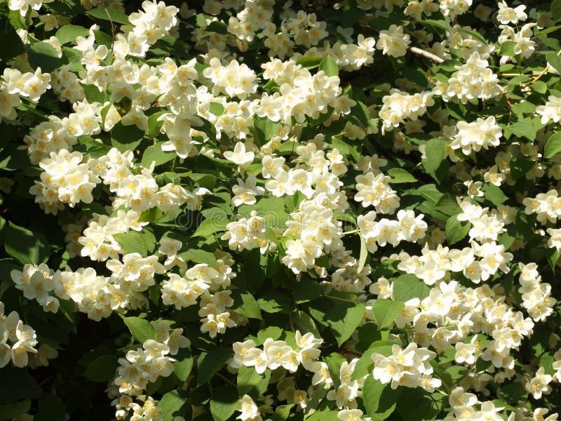 美丽的开花的茉莉花灌木在夏天庭院里 图库摄影