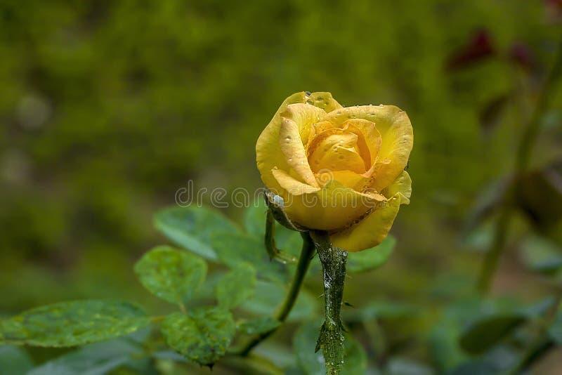 美丽的开花的黄色罗斯用对此的飞溅的水 免版税库存照片