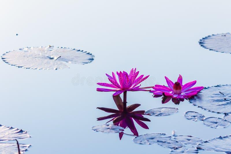美丽的开花莲花在泰国池塘在水反射 库存图片