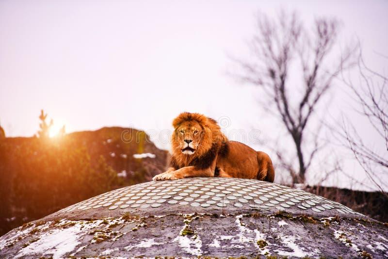 美丽的强大狮子 库存照片