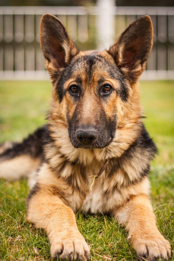 美丽的德国牧羊犬画象 免版税库存图片