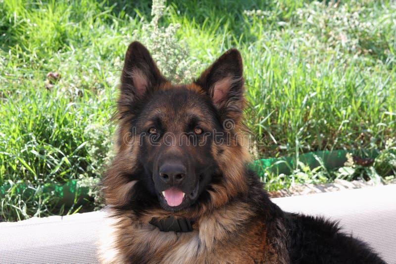 美丽的德国牧羊犬 免版税库存照片