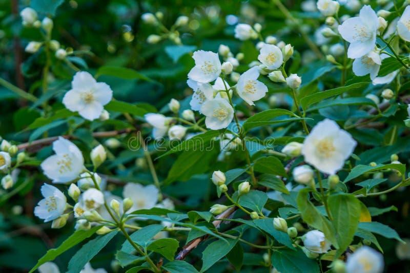 美丽的惊人的白色茉莉花在灌木开花在庭院里 免版税库存图片