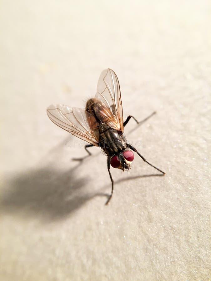 美丽的房子飞行苍蝇座domestica 免版税库存图片