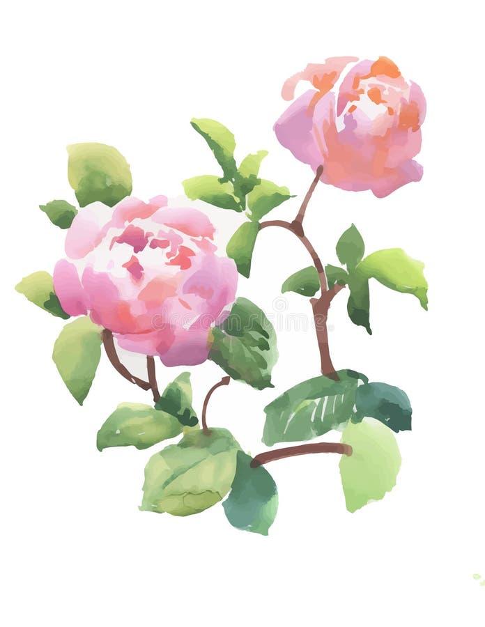 美丽的手拉的水彩桃红色牡丹在白色背景开花 皇族释放例证
