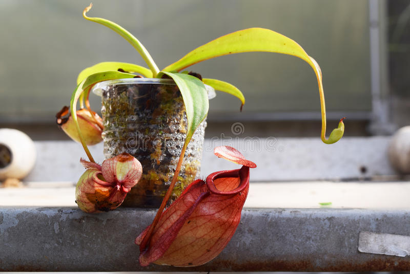 美丽的投手肉食植物罐在越南 库存照片