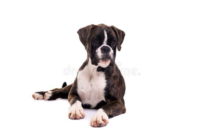 美丽的拳击手小狗 免版税库存照片