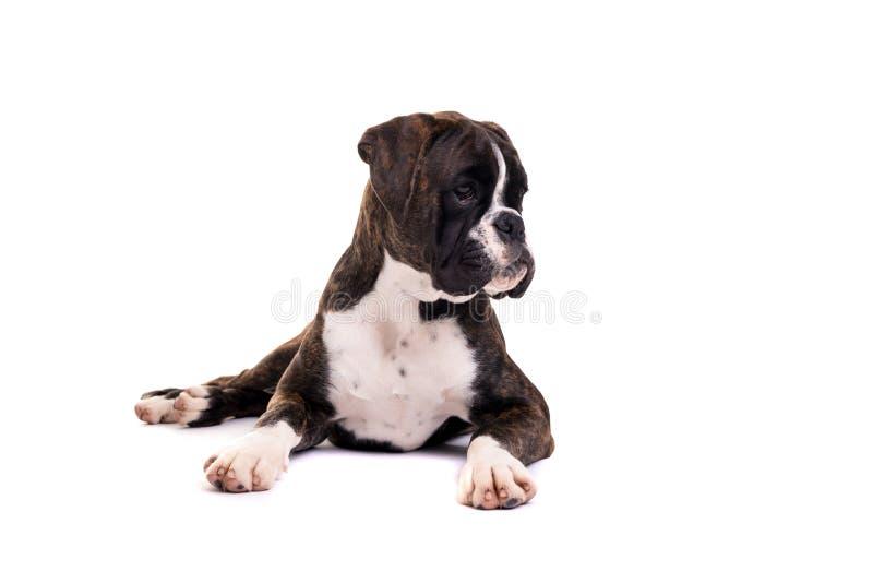 美丽的拳击手小狗 免版税图库摄影