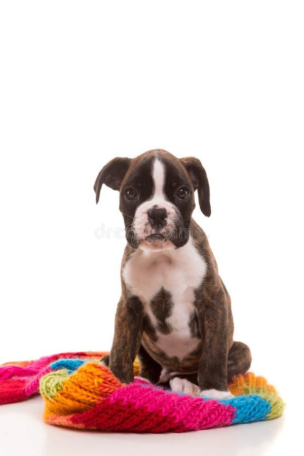 美丽的拳击手小狗 免版税库存图片