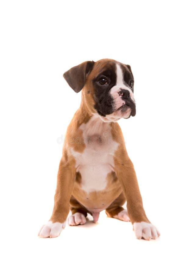 美丽的拳击手小狗 图库摄影