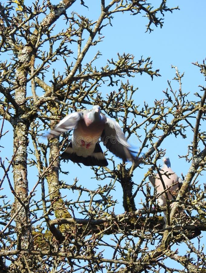 美丽的斑尾林鸽,立陶宛 免版税库存图片