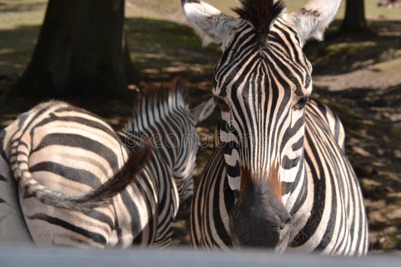 美丽的斑马在动物园里 免版税图库摄影