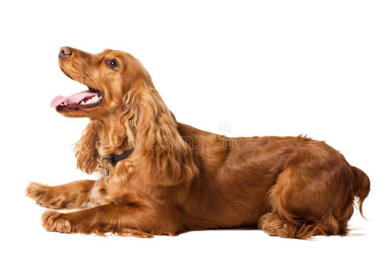 美丽的斗鸡家位于的西班牙猎狗 免版税库存图片