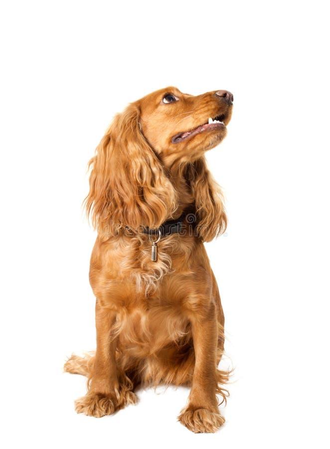 美丽的斗鸡家坐的西班牙猎狗 免版税库存图片