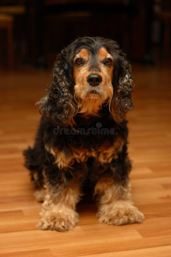 美丽的斗鸡家狗西班牙猎狗 库存照片