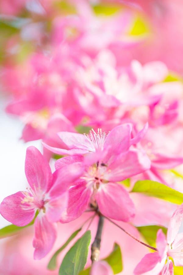 美丽的新鲜的桃红色樱桃花春天开花  库存图片
