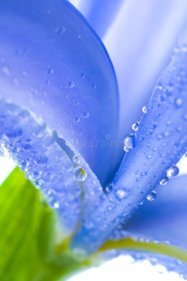 美丽的新鲜的虹膜 免版税库存照片