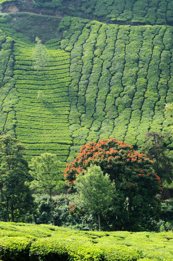 美丽的新鲜的绿茶在Munnar,西高止山脉,印度从事园艺 免版税库存照片