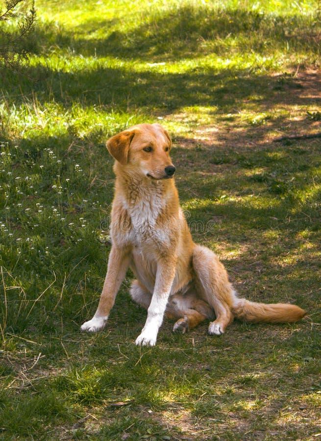 美丽的无家可归的狗在公园 库存图片