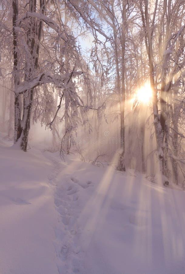 美丽的早晨阳光在有惊人的太阳的冬天森林放光 免版税库存图片
