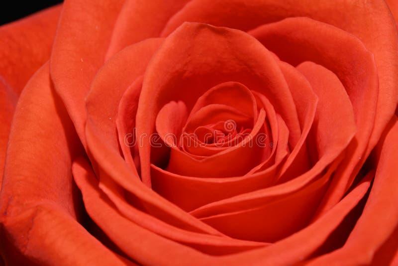美丽的明亮的特写镜头宏观春天花橙红玫瑰 免版税图库摄影