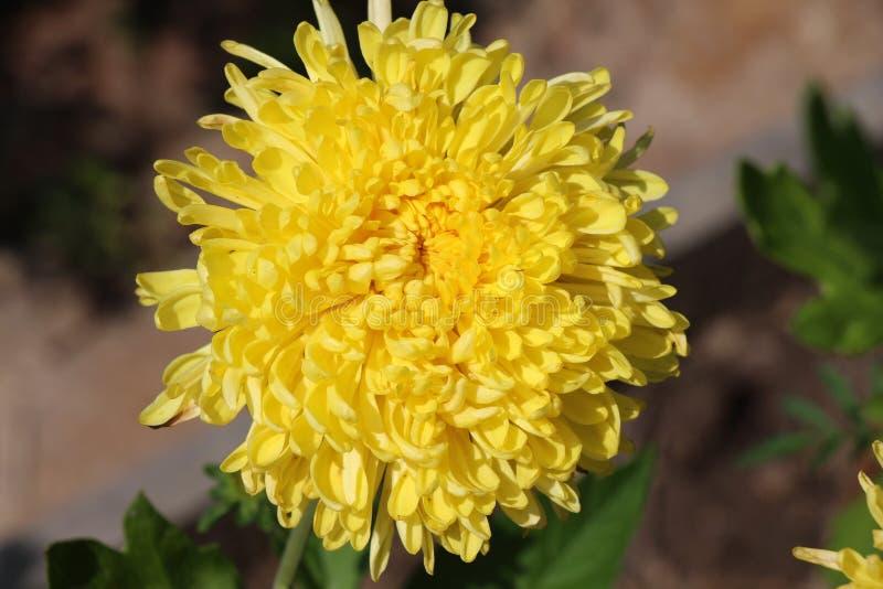 美丽的明亮的菊花 库存照片