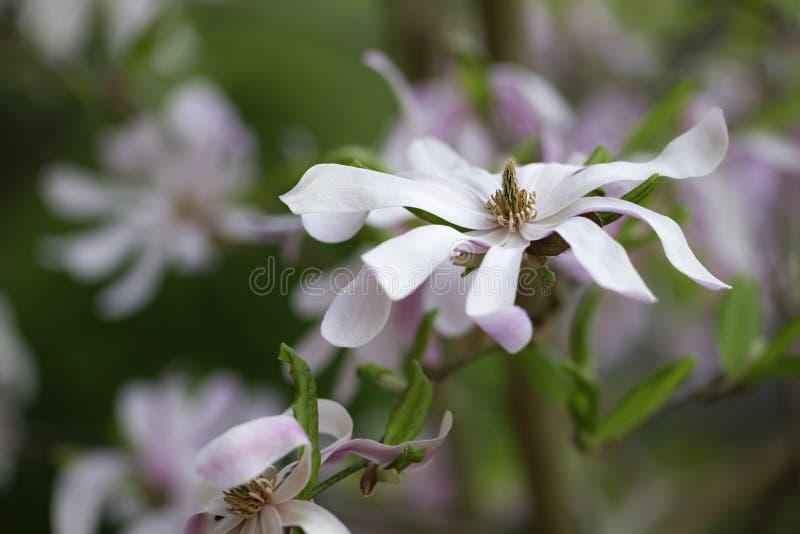 美丽的星木兰Magnolie,木兰stellata 免版税库存照片