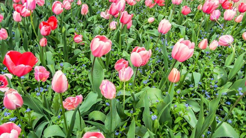 美丽的春天桃红色郁金香开花,莫内` s庭院,吉韦尔尼,法国 库存照片