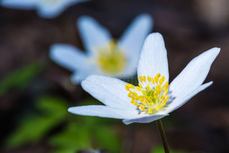 美丽的春天森林花的宏观射击 免版税库存图片