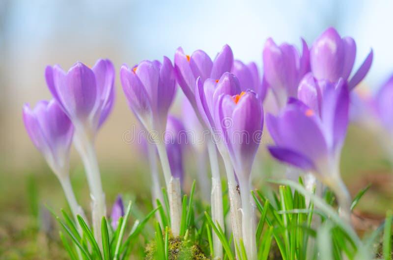 美丽的春天番红花在被日光照射了高山沼地开花 免版税库存照片