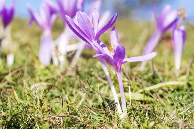 美丽的春天番红花chrysanthus紫罗兰花 图库摄影