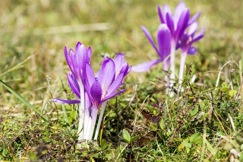 美丽的春天番红花chrysanthus紫罗兰花 免版税库存图片