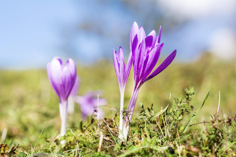 美丽的春天番红花chrysanthus紫罗兰花 免版税库存照片