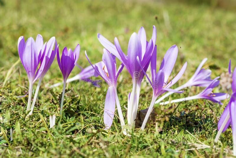美丽的春天番红花chrysanthus紫罗兰花 库存照片
