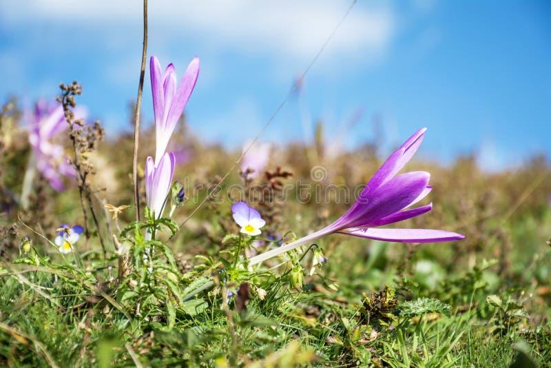 美丽的春天番红花chrysanthus紫罗兰花 库存图片