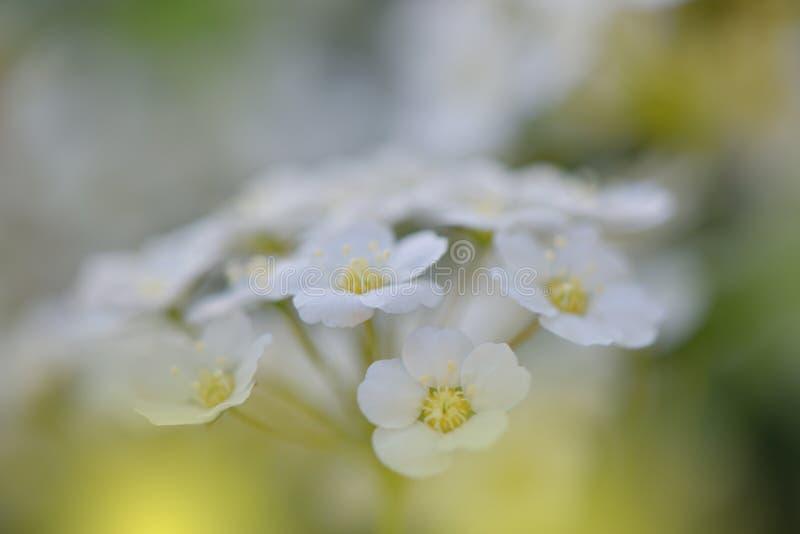 美丽的春天自然开花 五颜六色,颜色 白色葡萄酒纹理背景 复制您的文本的空间 艺术,花,网横幅 库存图片