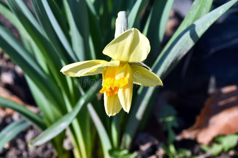 美丽的春天花水仙jonquilla,jonquil,仓促黄水仙 免版税库存图片
