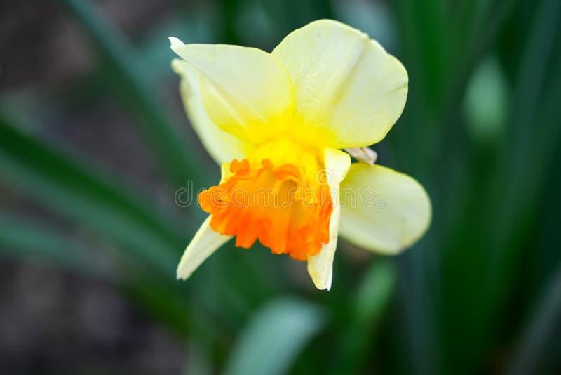 美丽的春天花水仙jonquilla,jonquil,仓促黄水仙 库存图片