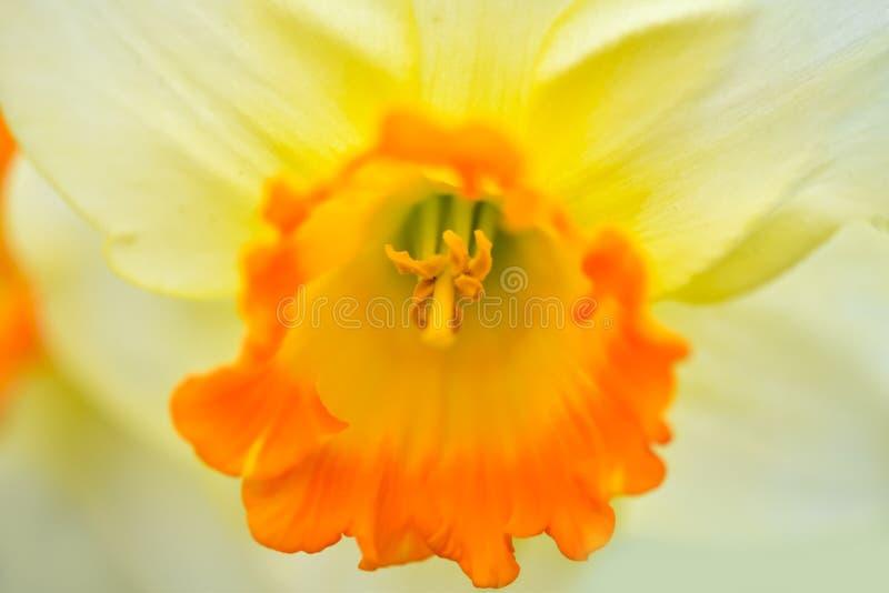 美丽的春天花水仙jonquilla,jonquil,仓促黄水仙 免版税库存照片