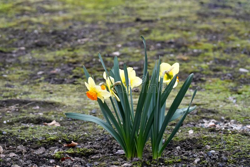 美丽的春天花水仙jonquilla,jonquil,仓促黄水仙 库存照片