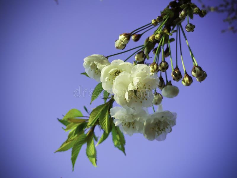 美丽的春天芽 免版税库存照片