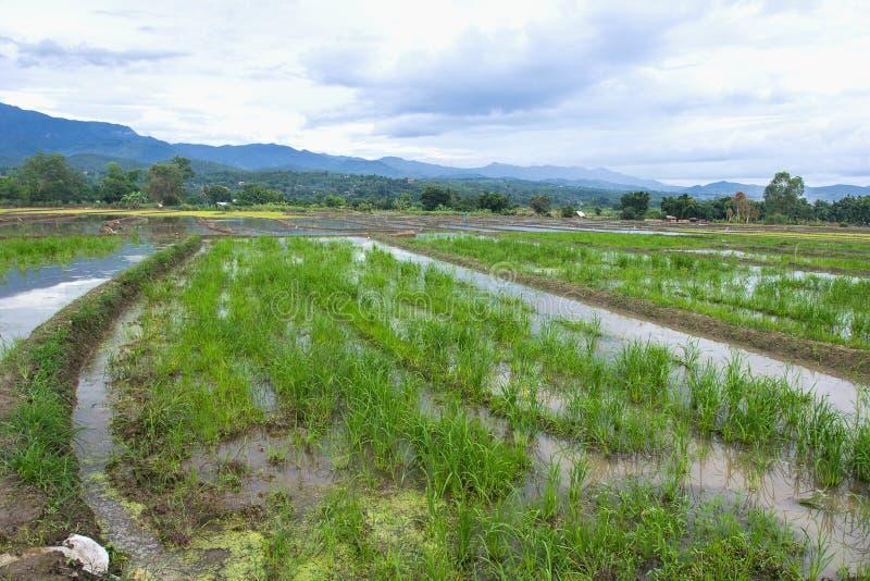 美丽的景色绿色米幼木玉米田 库存图片