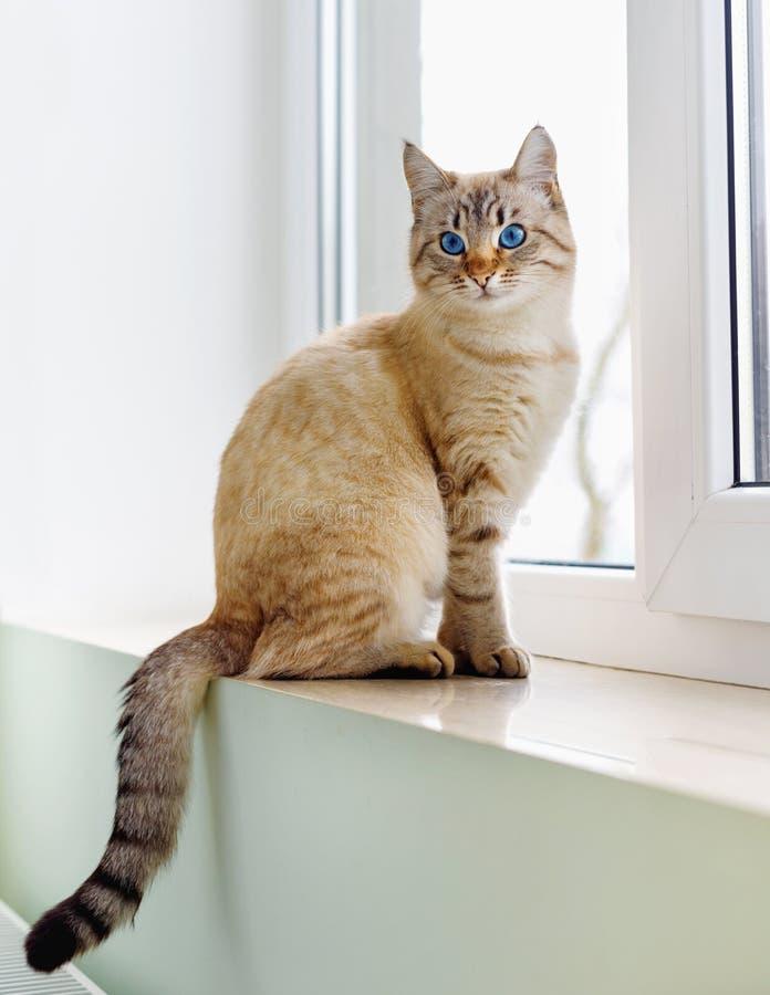 美丽的暹罗红色猫坐窗口 库存图片