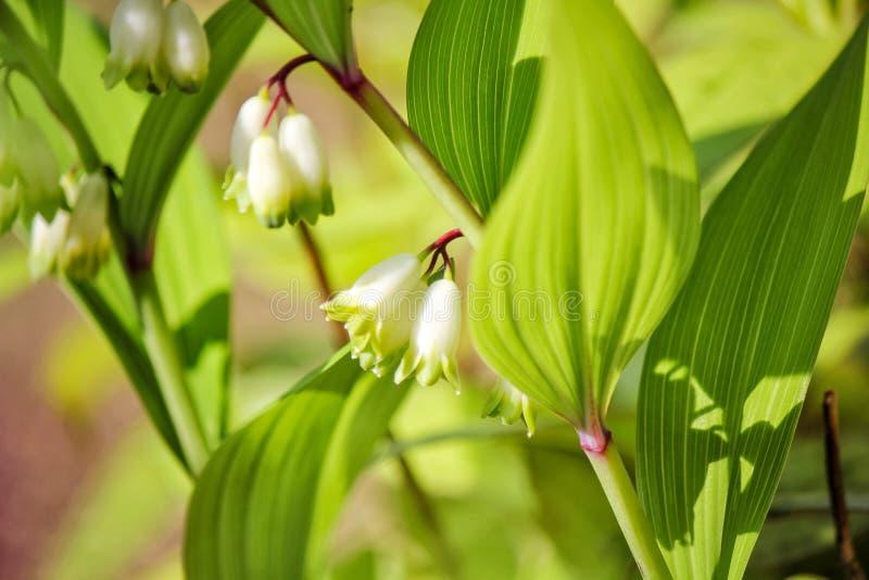 美丽的最近开花的微型绿色和白花的图片与绿色叶子的 库存图片